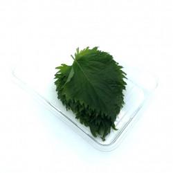 Shiso verde hoja